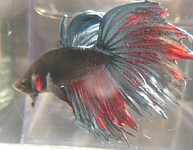 beautiful crowntails, bred by top breeders in usa